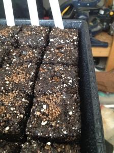 soil blocks plus azomite cover 2