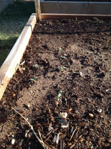 cukes emerging
