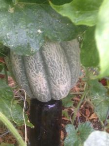 OTT Melon 1
