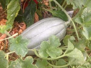 OTT Melon 2