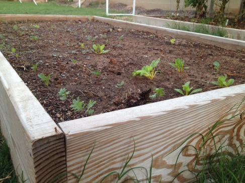 Lots of sprouts in a raised bed